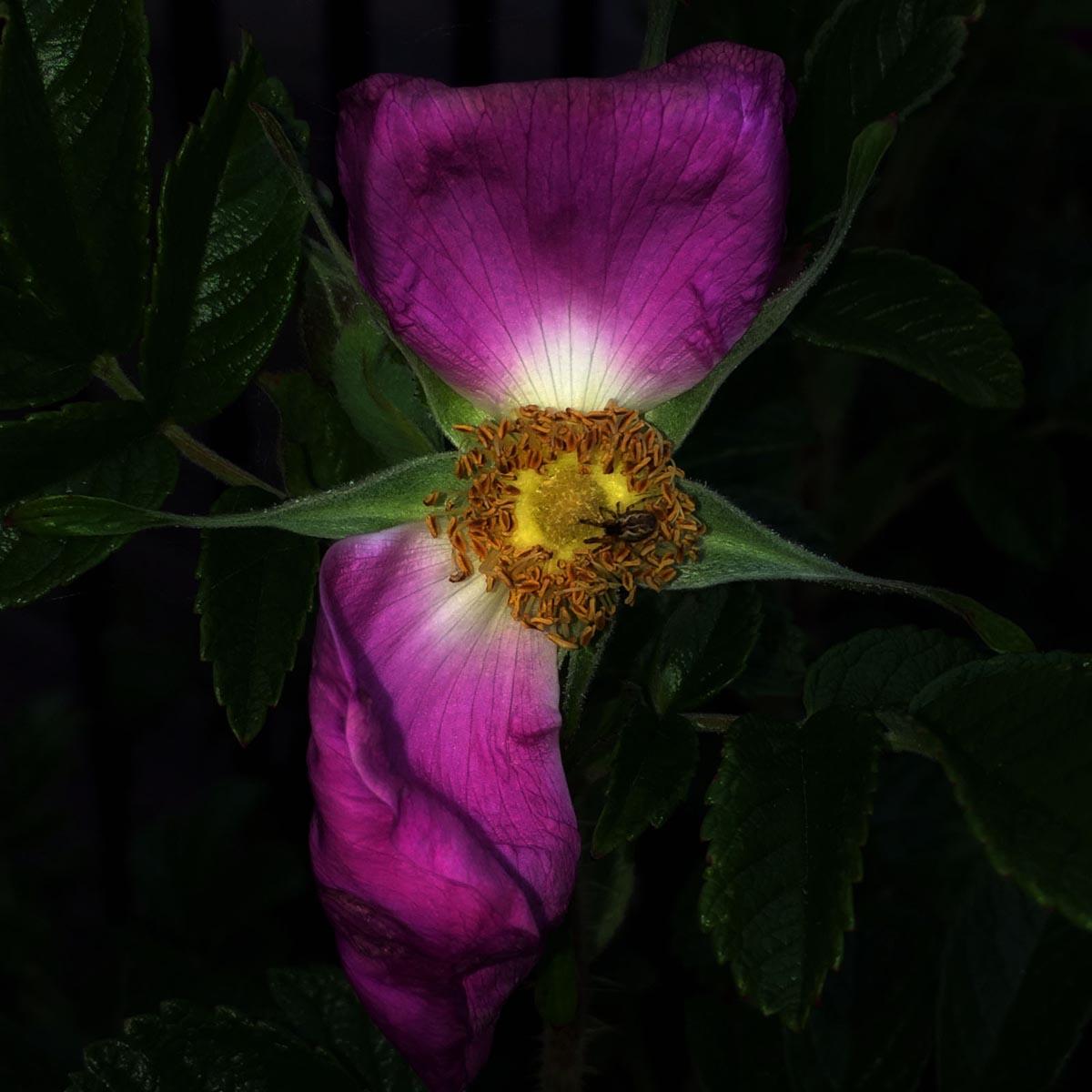 Stephen S T Bradley - contemporary fine art photograph of a Beach Rose. Photo 9498